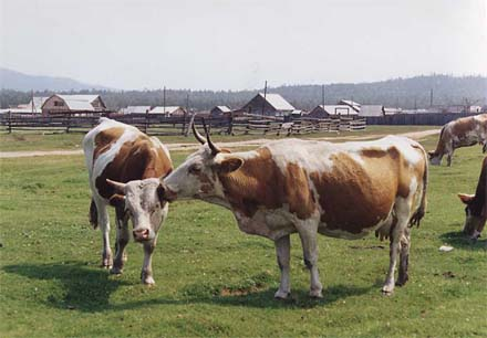 Cows kissing at Gremyachinsk, photo by WayToRussia.Net